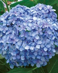 Dear Dolores™ Hydrangea | Shrubs | Southern Living Plant Collection