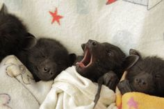Night. Night. Baby Fruit Bats