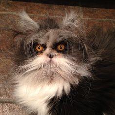 Meet Atchoum! Angry Muppet Cat! - Imgur