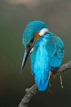 This is a Kingfisher, not a Hummingbird