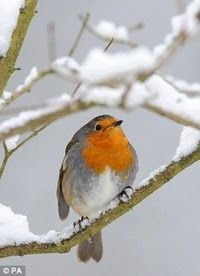This rather large robin sits atop a snow covered branch in Hexham, Northumberland