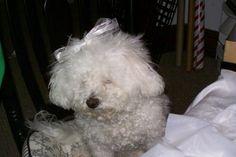 I need a hair cut!! (Chloe the Bichon Frise)