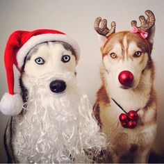Funny Husky Christmas And Reindeer