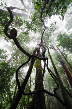 A liana is any of various long-stemmed, woody vines that are rooted in the soil at ground level and use trees, as well as other means of vertical support, to climb up to the canopy to get access to well-lit areas of the forest.[1] Lianas are especially characteristic of tropical moist deciduous forests and rainforests, including temperate rainforests. Yes, this is the vine Tarzan would swing from.