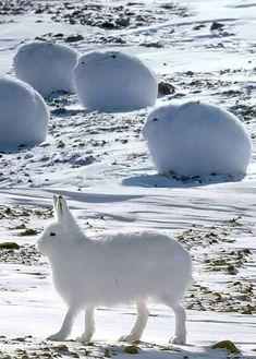 Artic Rabbits! I WANT ONE!