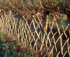 Living Willow Hedges  Or 'fedges' = fence + hedge. Willows, sallows, and osiers form the genus Salix (Latin for willow), which consist of around 400 species of deciduous trees and shrubs. Willow are native to moist soils in cold and temperate regions of the Northern Hemisphere. Almost all willows take root very readily from cuttings. Young, thin willow cuttings are known as withies, longer willow rods are known as whips.