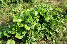 Hyacinth Bean - cover crop and nitrogen fixer. Use caution since it is perennial and can only be terminated with a hard freeze or deep tillage. Organic Weed Control, Soil Improvement, Crop Rotation, Organic Soil, Companion Planting, Permaculture, Freeze, Agriculture, Perennials