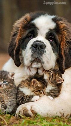 I Love all Dog Breeds: 5 of the most massive dog breeds When you say a massive dog breed, it means a dog with good height and great weight. Below are five of the massive dog breeds. Massive Dog Breeds, Massive Dogs, Large Dog Breeds, Cute Puppies, Cute Dogs, Dogs And Puppies, Doggies, Funny Dogs, Puppies Puppies