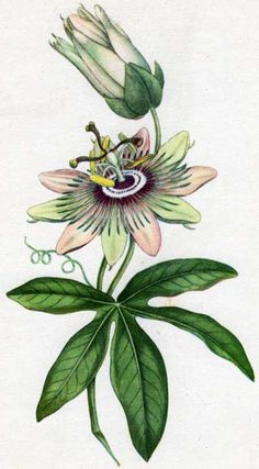 Passion flower, Passiflora caerulea, from Curtis's Botanical Magazine, 1786 Art Floral, Floral Prints, Botanical Drawings, Botanical Illustration, Botanical Tattoo, Botanical Flowers, Botanical Prints, Flower Tattoo Drawings, Passion Flower