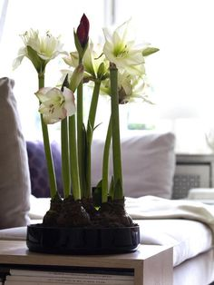 Like this pot idea. Need more bulbs.  Hippeastrum/amaryllis blooms - for window ledge in living room.
