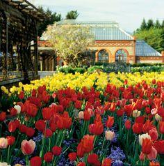 Tulips-Biltmore House