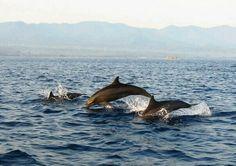 Chasing Dolphins At Lovina Island - Singaraja, Bali