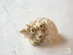 Sea shell photograph fine art still life by OverTheRainbowPrints, $30.00
