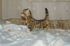 bengal kitten. Sooo beautiful. Thinking about getting one...