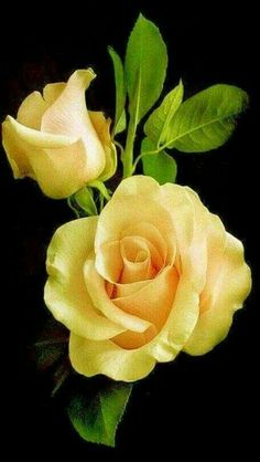pair of yellow roses. - Lovely pair of yellow roses. -Lovely pair of yellow roses. - Lovely pair of yellow roses. Beautiful Rose Flowers, Love Rose, Flowers Nature, Exotic Flowers, Amazing Flowers, Pretty Flowers, Flowers Garden, Art Floral, Flower Wallpaper