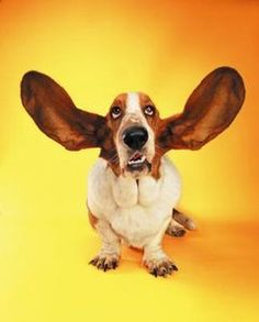I was just talking about snoods and doggie ear health.  This photo is part of a good article on ear infections.