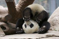 Foto oso panda patas para arriba  [23-11-15]