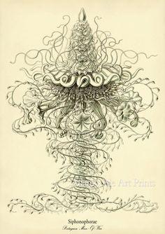 Vintage12 x 16 Art Print Poster: Portuguese Man Of War Jellyfish, Victorian Era Ernst Haeckel Science Illustration