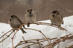 three birds in the snow Photos Three sparrows on a tree branch on a winter day. by RoadharmA