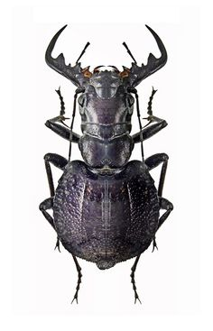 Mantichora mygaloides