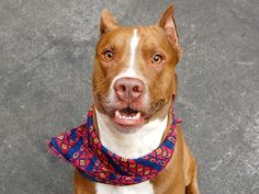 TO BE DESTROYED - FRIDAY - 8/15/14 Manhattan Center My name is ZEUS. My Animal ID # is A1009580. I am a male brown and white pit bull mix. The shelter thinks I am about 2 YEARS I came in the shelter as a STRAY on 08/06/2014 ~PETRIFIED POOCH (abuse?) ~ HANDSOME ~ TRYING TO CURL-UP & BE INVISIBLE IN CAGE ~NEEDS PATIENT?EXPERIENCED HOME TO HELP HIM TRUST AGAIN!!!!