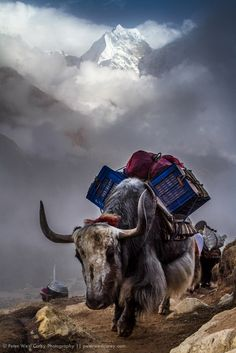 peter carey - yakin front of Kangtega , known also as The Snow Saddle, is a major mountain peak of the Himalayas in Nepal. Its summit rises metres. Nepal Art, Amazing Places On Earth, Beautiful Places, Indian Illustration, Himalaya, Memories Photography, Wild Creatures, Mountain Art, Mountain Paintings