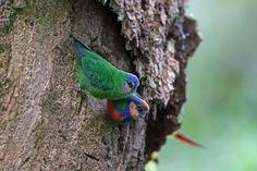 Red-breasted_Pygmy-Parrot (Micropsitta bruijnii) by Nigel_Voaden.