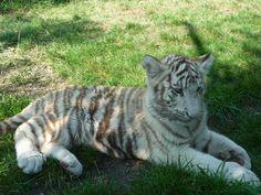 Bébé tigre blanc