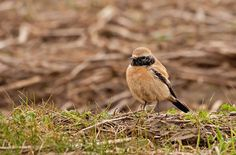 Desert Wheatear, which should be in Algeria I think, but has turned up in the north of England! #bird
