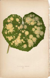 Lowe Beautiful Leaved Plants Botanical Print- Farfugium Grande