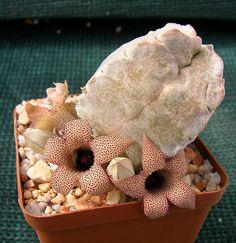 whitesloanea-crassa-image-2
