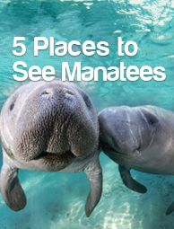 Swimming with manatees - we are doing this!! #florida