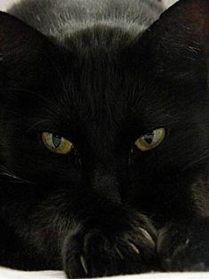 Beautiful Black Cat - So chic I luv black cats! Pretty Cats, Beautiful Cats, Animals Beautiful, Cute Animals, Crazy Cat Lady, Crazy Cats, I Love Cats, Cool Cats, Tier Fotos