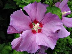 When to Fertilize the Rose of Sharon thumbnail