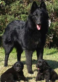 Beautiful dog & 2 adorable pups. I want more dogs sooo bad ;-(