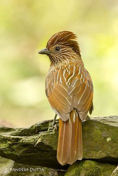 Straited Laughingthrush (Garrulax striatus) is a bird species in the Leiothrichidae family. It is found in the northern temperate regions of the Indian subcontinent and ranges across Bhutan, India, Myanmar, Tibet and Nepal. by Sandeep Dutta on Pretty Birds, Cute Birds, Beautiful Birds, Animals Beautiful, Beautiful Pictures, Small Birds, Little Birds, Colorful Birds, Kinds Of Birds