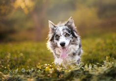 Shiri - Pinned by Mak Khalaf My dog Shiri just simple portrait. I would like to learn new skills in pet photography so this is result. ;-) Thank you for your opinions and advices. Animals portraitlightdoganimalcutegardenpetborder collie by morwen