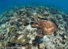 Island Divers - green turtle