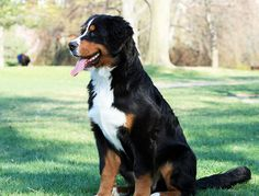 Check it out! Bernese Mountain Dog !!! I Love this breed !!!!