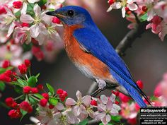 Blue birds/my backyard