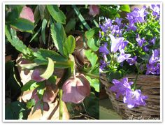 Helleborus and campanula in my garden/loggia, see my blog AnMa Zine ✿⊱╮