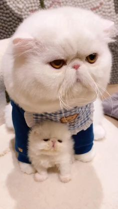 This coffee cat Funny Cute Cats, Cute Funny Baby Videos, Cute Animal Videos, Cute Funny Animals, Cute Little Kittens, Cute Baby Cats, Cute Dogs, Exotic Cat Breeds, Exotic Cats