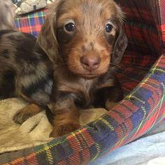 Golden Dachshund, Teacup Dachshund, English Cream Dachshund, Short Haired Dachshund, Dapple Dachshund Puppy, Mini Dachshund, Beagle Mix Puppies, Dachshund Puppies For Sale, Miniatures