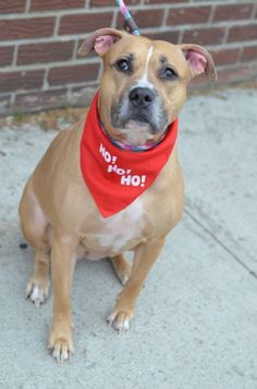 SAFE 5-10-2015 --- RETURNED 04/27/15 – PERSONAL PROB ---  SAFE --- Brooklyn Center   NALA - A1023388   SPAYED FEMALE, TAN / WHITE, PIT BULL MIX, 5 yrs OWNER SUR - ONHOLDHERE, HOLD FOR ID Reason OWN EVICT  Intake condition EXAM REQ Intake Date 12/17/2014, From NY 11226, DueOut Date 12/26/2014, https://www.facebook.com/photo.php?fbid=925914644088082