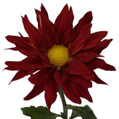 Get this Brick Red Giant Daisy by shopping FiftyFlowers! These deep brick red giant daisies have a golden yellow center that contrasts beautifully. Offered in quantities of 90 or 180 stems, these uniquely large blooms would be perfectly paired with our Yellow Billy Balls for a fall themed bouquet!