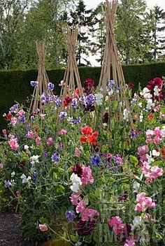 Wigwams create vertical growing opportunities for climbers. Cut Flower Garden, Big Garden, Dream Garden, Garden Art, Beautiful Gardens, Beautiful Flowers, Pea Trellis, Growing Sweet Peas, Sweet Pea Flowers