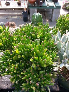 #Succulents from Stauffers Home & #Garden store.