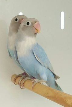 D blue nigrigenis