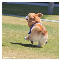 Skipping along through life, it works for him! #dogs #pets #Corgis…
