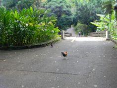 Rooster in Oahu, Hawaii